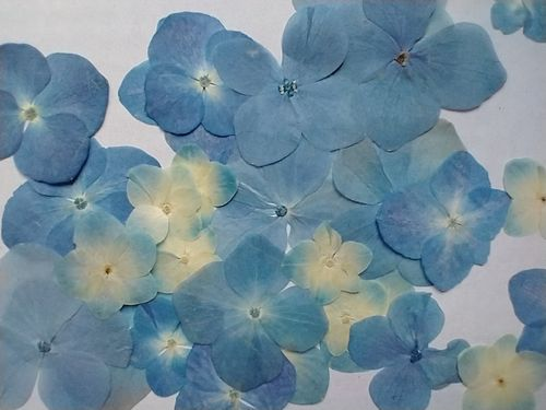 Pressed dried flowers hydrangea pack of 30 blue