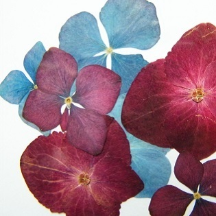Pressed dried flowers hydrangea pack of 7