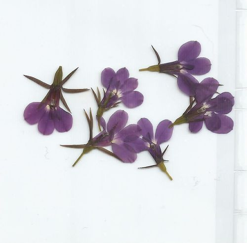Pressed flowers lobelia pack of 7