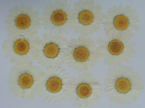 Pressed flowers daisy pack of 12