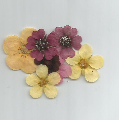 Pressed flowers potentilla pack of 7