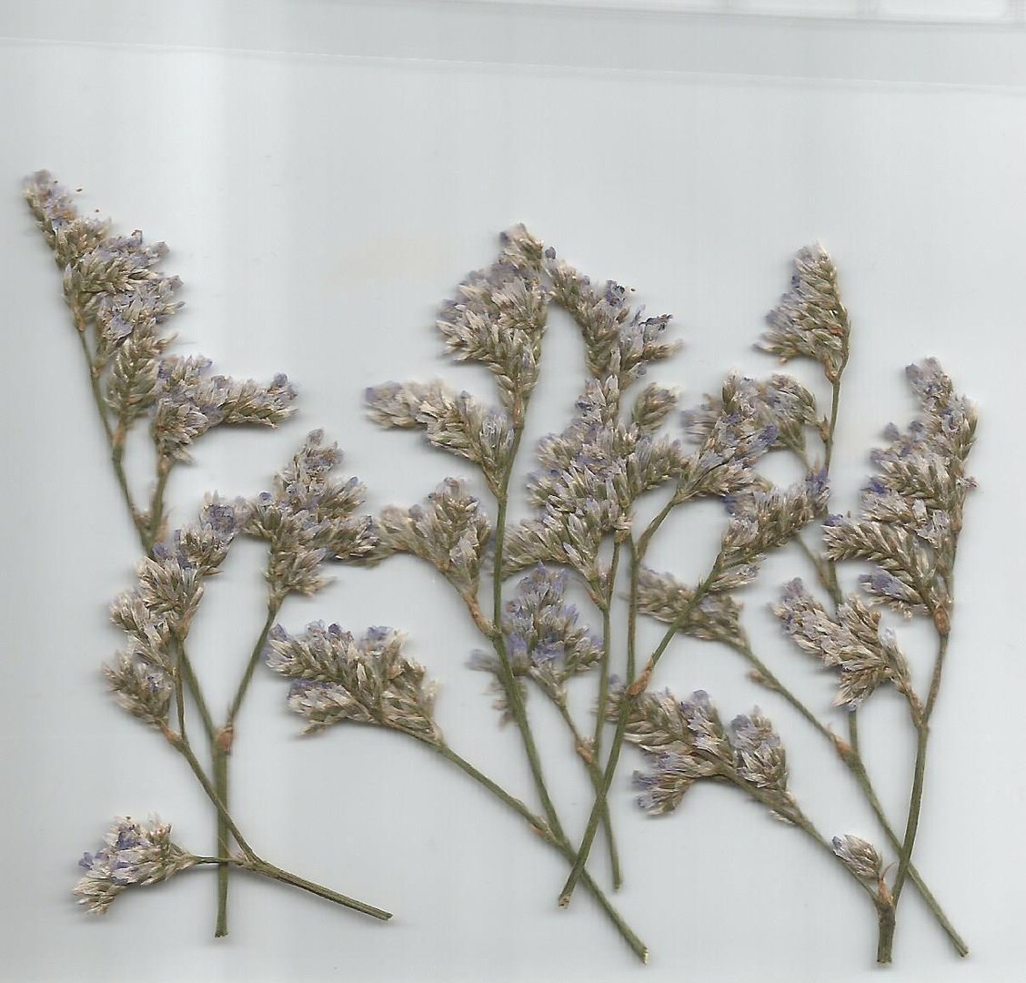 Pressed Dried Flowers Sea Lavender Pack Of 7 Dried