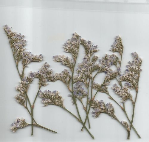 Pressed dried flowers sea lavender pack of 7