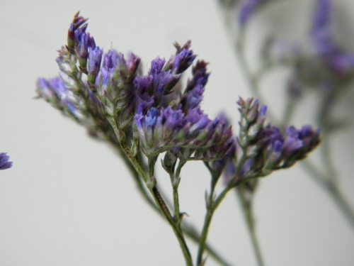 Sea lavender dried flower bunch purple limonium