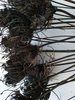 Dried ammi carrot seed heads bunch dyed brown