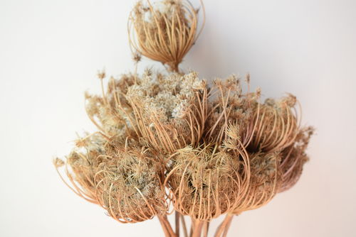 Dried ammi carrot natural seed heads bunch