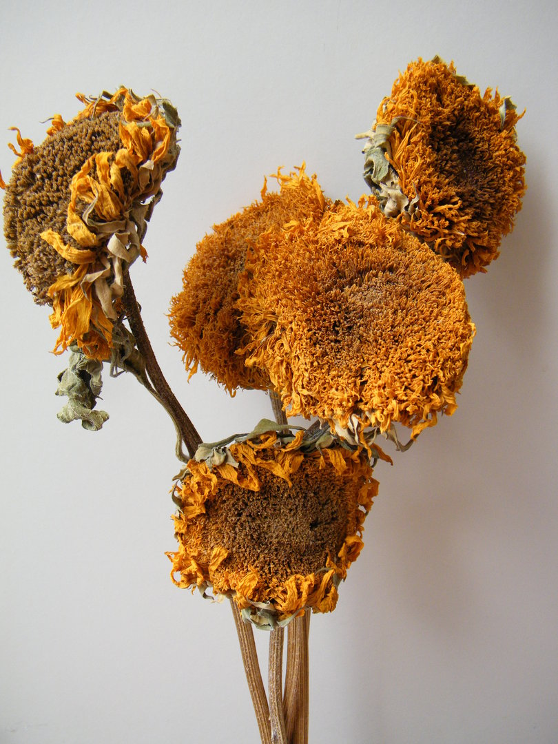Sunflowers Dried Bunch Dried Flowers Daisyshop
