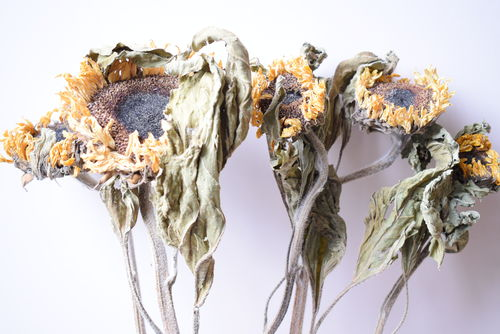 Sunflowers dried bunch of 5 - UK - Seconds