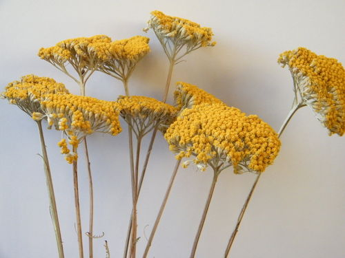 Achillea dried flower bunch small flowers