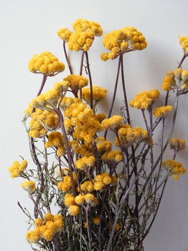 Dried flower bunch yellow ageratum