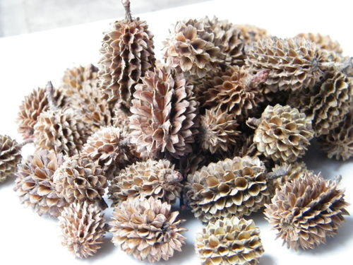 Casuarina pods wholesale