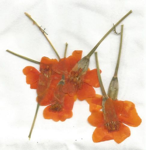 Pressed flowers tagetes pack of 7