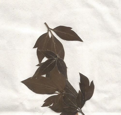 Pressed dried clematis leaves pack of 7
