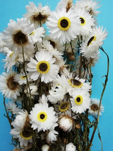 Dried white Acroclinium daisies