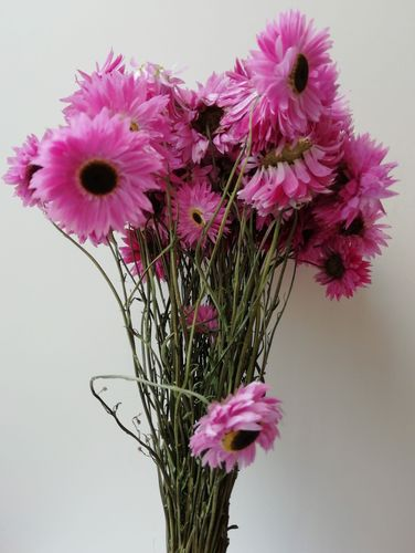 Dried bunch Acroclinium pink UK