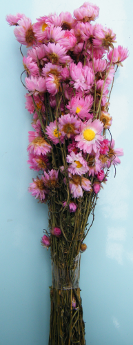 Dried bunch Acroclinium pink