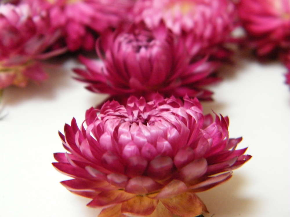Helichrysum Flower Heads Pink Dried Flowers Daisyshop