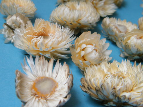 Helichrysum flower heads white