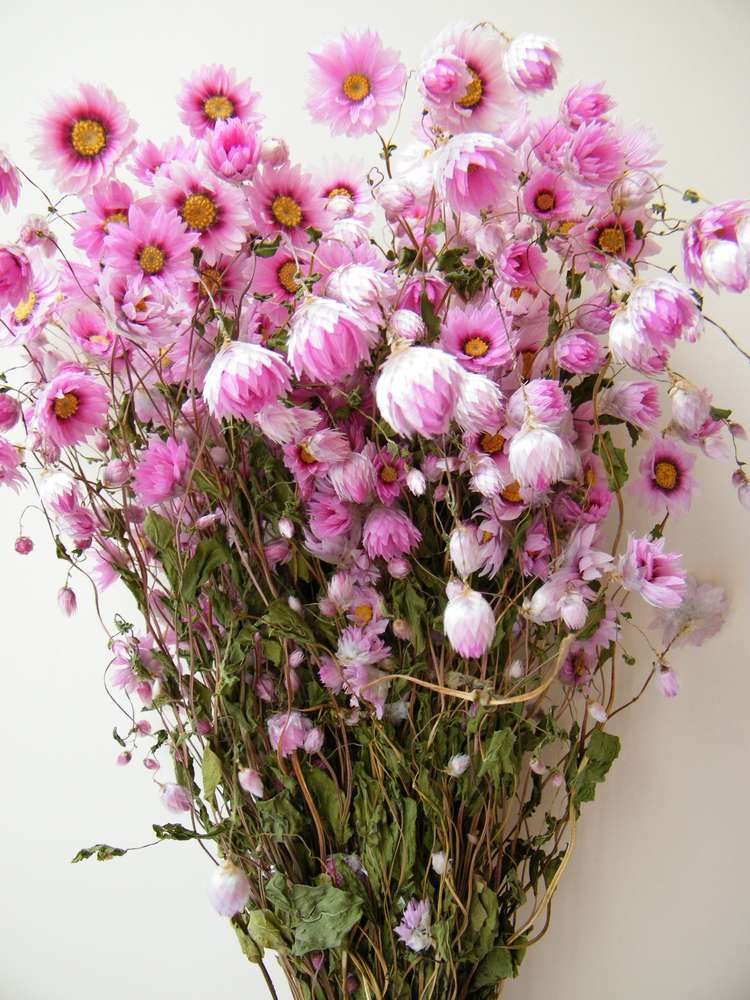 Dried Flower Bunch Pink Rhodanthus Wholesale Dried Flowers Shop