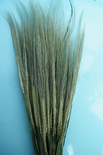 Barley dried bunches wholesale