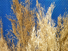 Flowering grass cloud grass dried bunches small - wholesale