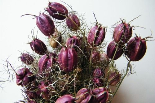 Nigella pods bunch natural purple