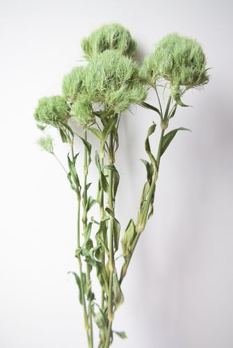 Green dianthus dried flowers bunch