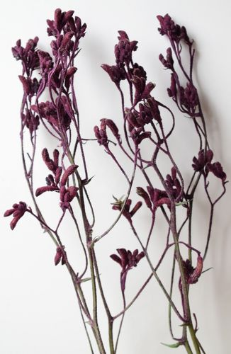 Dried kangaroo paw flower bunch burgundy