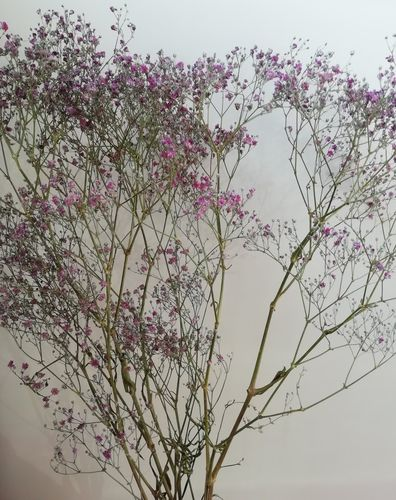 Gypsophila dried flower bunch natural pink