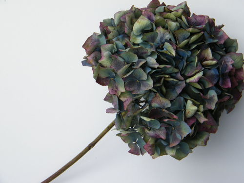 Dried hydrangea flower head blue green purple