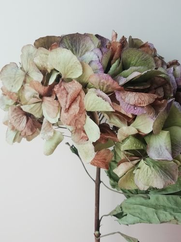 Dried hydrangea flower head large green reduced