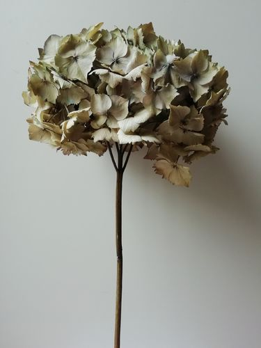 Dried hydrangea flower head seconds