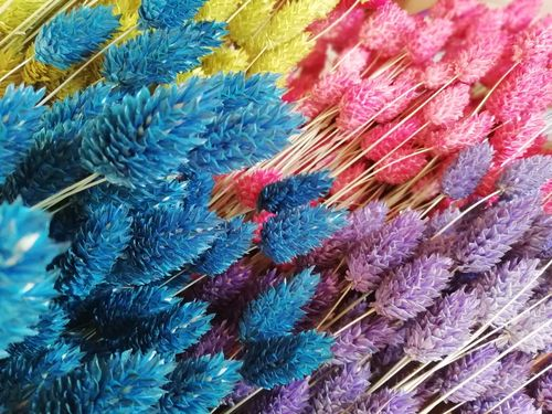 Dyed phalaris bunch dried grasses Sale