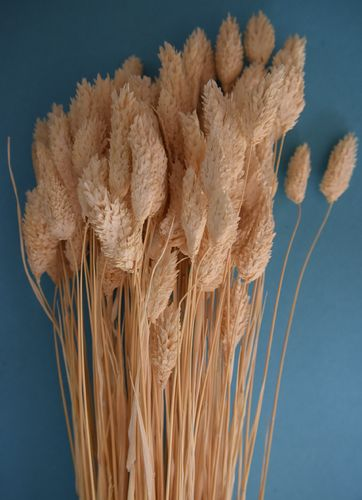 Dried phalaris bunch ivory wholesale