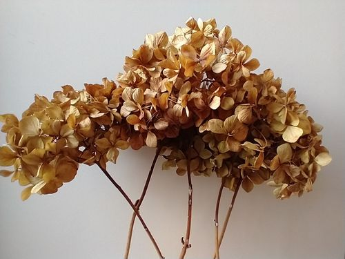 Dried hydrangea flower heads bouquet natural brown