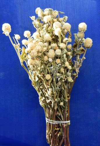 Clover flowers dried bunch white