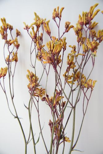 Dried kangaroo paw flower bunch orange