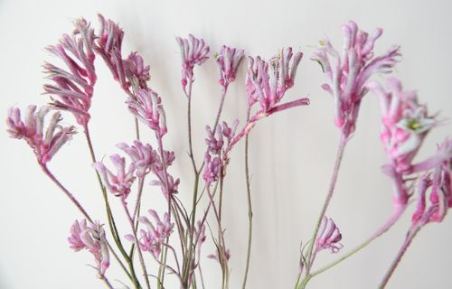 Dried kangaroo paw flower bunch small pink