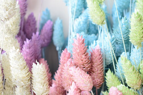 Pastel phalaris bunch dried grasses - canary grass blue