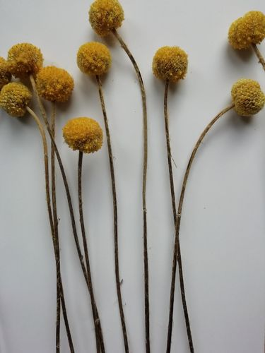 Billy buttons bunch Seconds - dried Craspedia 10 stems