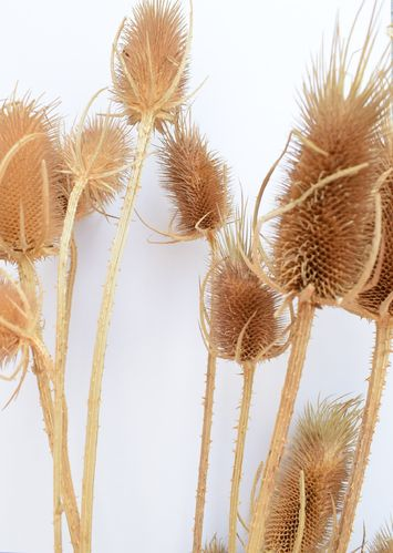 Dried teasels bunch natural