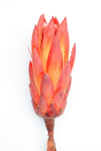 Protea flower natural red single stem