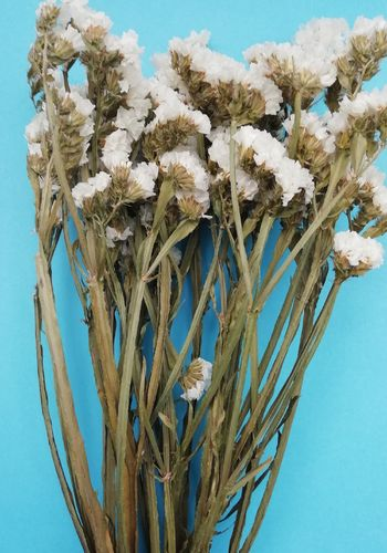 Statice sinuatum dried flowers white