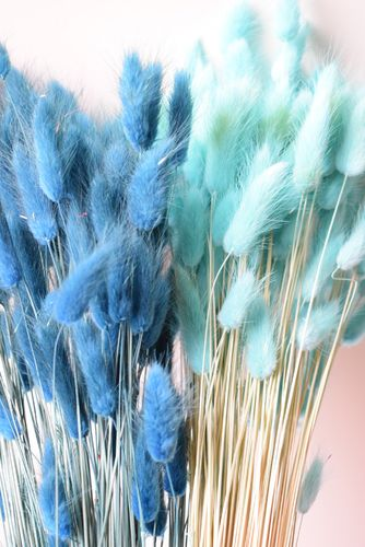 Lagurus dried grass bunch choice of blues