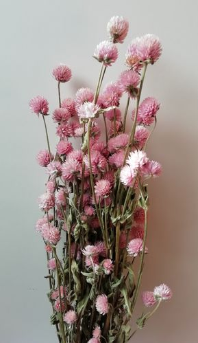 Clover flowers dried bunch pale pink
