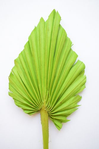 Palm spear lime green handmade dried leaf multipack