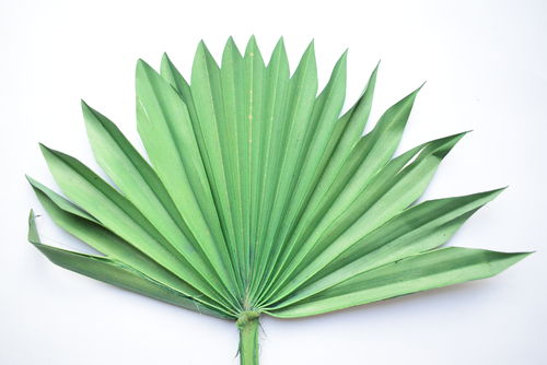Palm sun green dried leaf stem ten pack