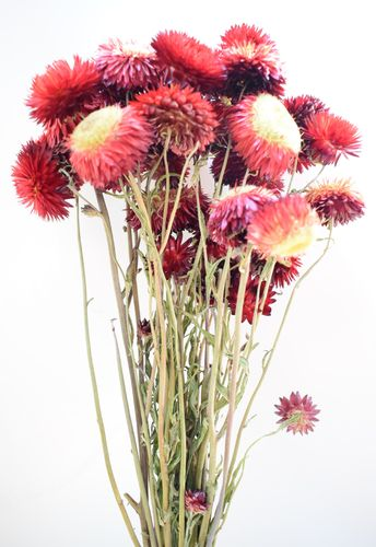 Helichrysum strawflower bunch red UK