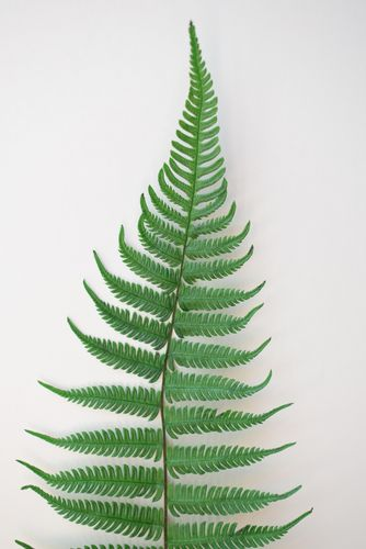 Preserved fern leaf large