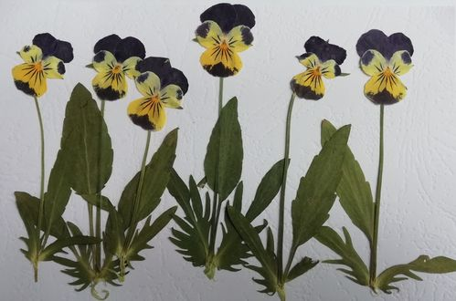 Pressed viola flowers and leaves whole pansy 6 pack
